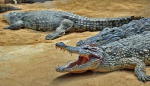krokodile-aalen-sich-sand--6119